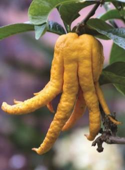 "Citrus medica ""Sarcodactylis"""