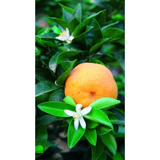 "Citrus myrtifolia ""Chinotto"" - Fruto"