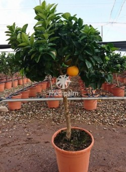 "Citrus myrtifolia ""Chinotto"" COPAT/3 CT22 6L"