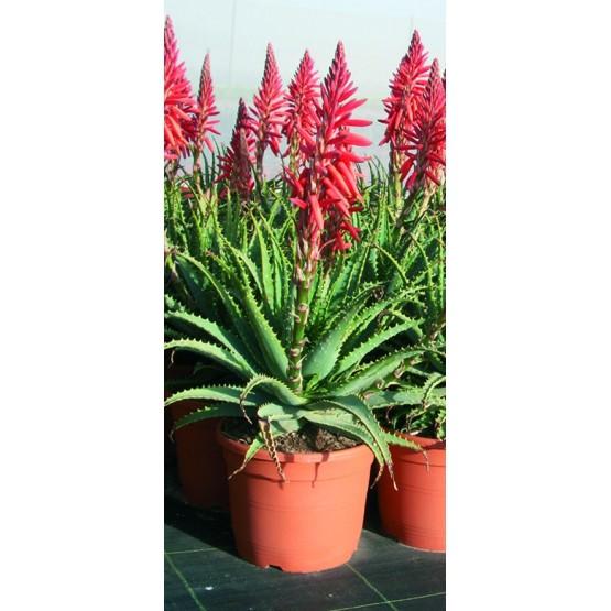 Aloe x spinosissima SUCULENTA