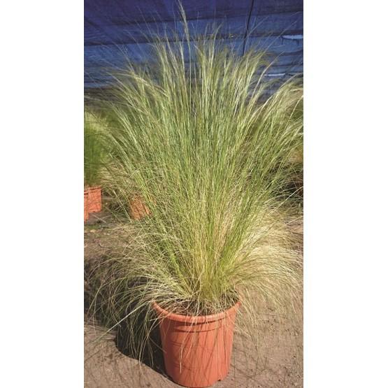 "Stipa tenuissima ""Nasella"" GRAMINEA"