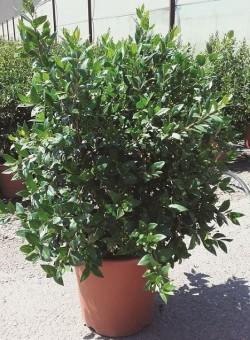 Myrtus communis ARBUSTO