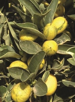 "Citrus kumquat ""Variegata"" (fort. margarita)"