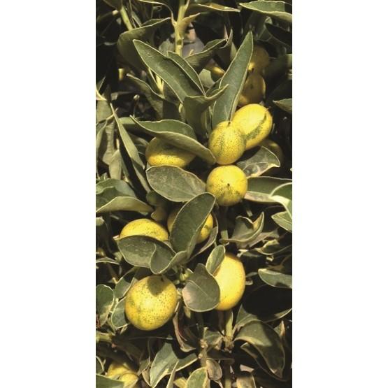 "Citrus kumquat ""Variegata"" - Fruto"