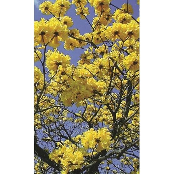 Tabebuia ochracea - Flor