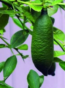 Citrus microcitrus australasica - Fruto