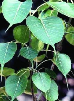 Ficus religiosa ARBOL