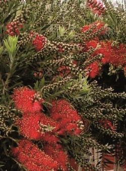"Callistemon vim. ""Mini Red"""