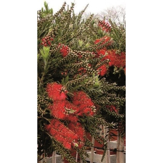"Callistemon viminalis ""Mini Red"" COPA"