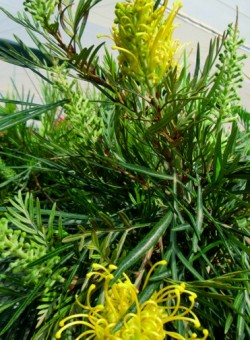 "Grevillea ""Yellow/Moon Light"" ARBUSTO"