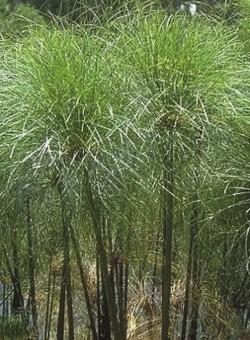 """Cyperus Papyrus """"Nanus"""""""