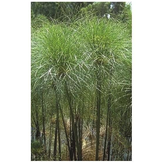 """Cyperus papyrus """"Nanus"""" GRAMINEA"""