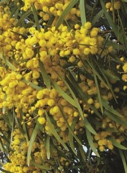 Acacia saligna ARBUSTO