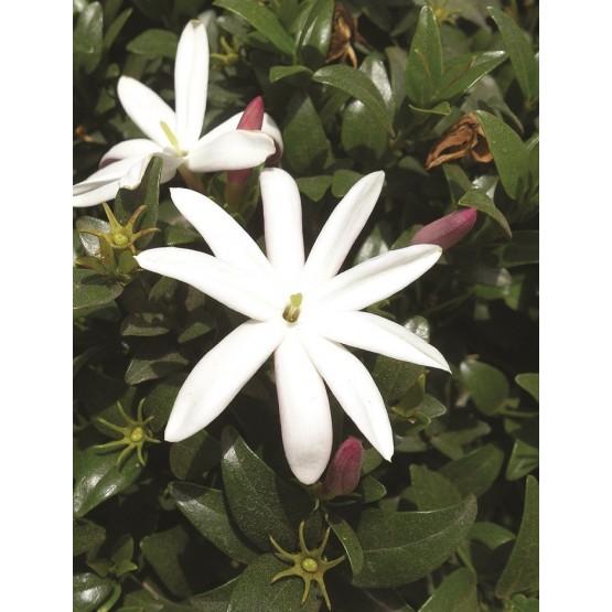 Jasminum glaucum ARBUSTO