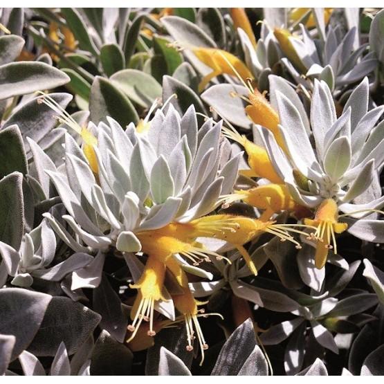 "Eremophila glabra ""Kalbarri Carpet"" - Flor"