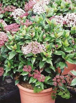 Viburnum tinus eve price ARBUSTO