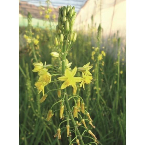 Bulbinia frutescens HERBACEA