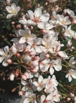 "Rhaphiolepis umbellata ""Ovata"" - Flor"