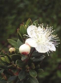Myrtus com Microphylla - Flor
