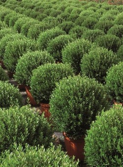 Myrtus com Microphylla ARBUSTO