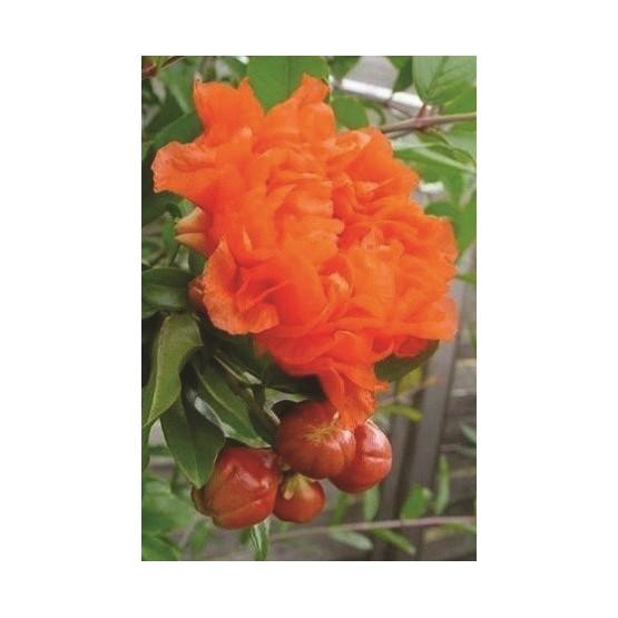 Punica grana maxima Rubra - Flor