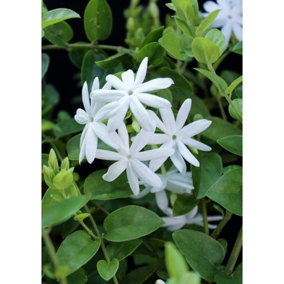 Jasminum molle ARBUSTO