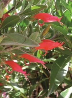 """Eremophila glabra """"Red"""" - Flor"""