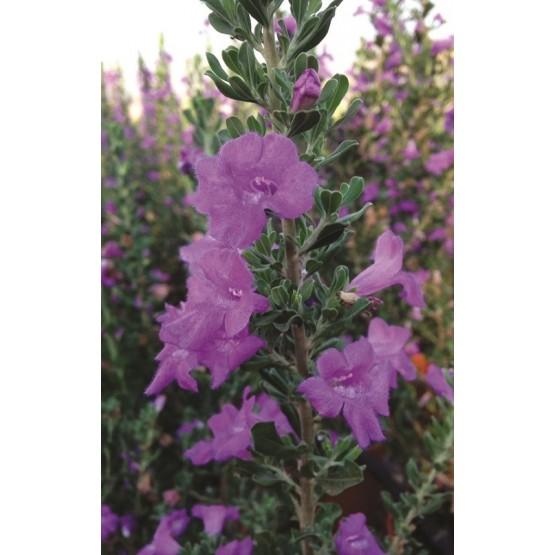 Leucophyllum langmaniae ARBUSTO