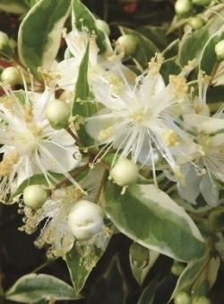 """Myrtus communis """"Variegata"""" ARBUSTO"""