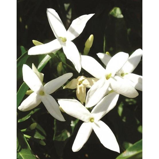 Jasminum azoricum TREPADORA