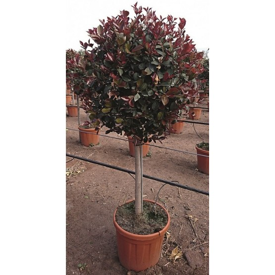"Eugenia uniflora ""Etna Fire"" COPA"