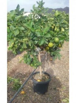 Citrus latifolia COPARAM C35 25L 10-12P