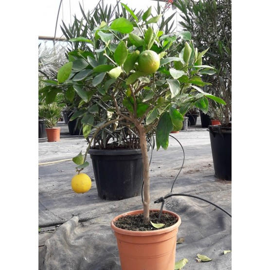 Citrus latifolia COPAT/3 CT22 6L