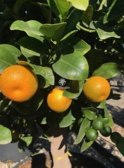 "Citrus ""Clementina"" - Fruto"