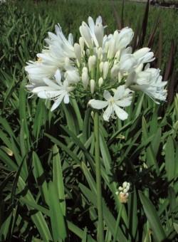 """Agapanthus africanus """"Albus"""" HERBACEA"""