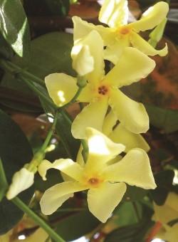"Trachelospermum Jasminoides ""Yellow"" TREPADORA"