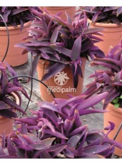 "Tradescantia pallida ""Purple Hearth"" ARBUSTO"