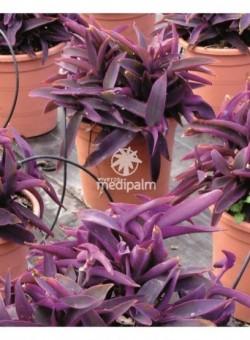 "Tradescantia pallida ""Purple Hearth"" ARBUSTO"