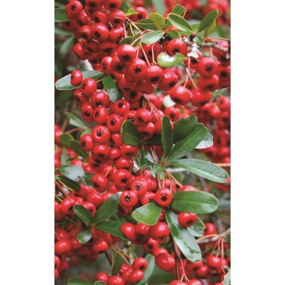 "Pyracantha ""Ventoux Red"" - Flor"