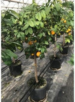 Citrus Limonia Osbeck COPARAM C30 18L