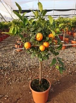 Citrus Limonia Osbeck COPAT/3 CT22 6L