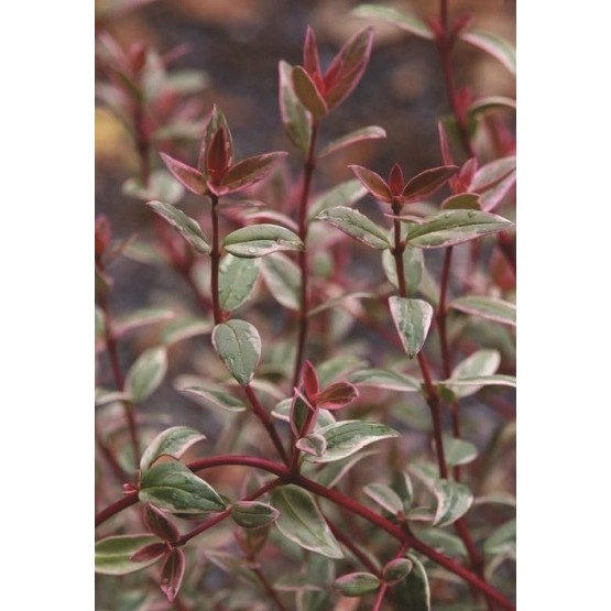 "Myrtus ugni molinae ""Flambeau"" ARBUSTO"