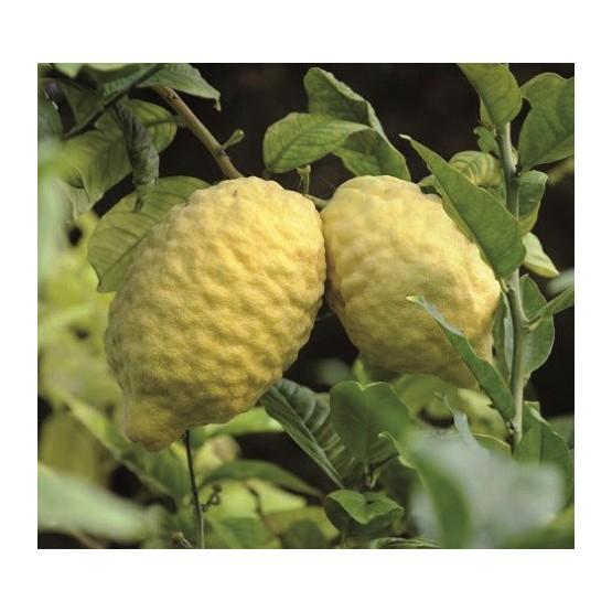 Citrus medica - Fruto