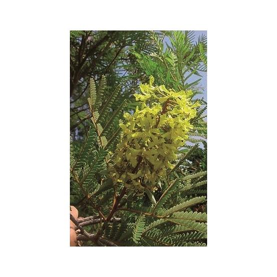 Peltophorum africanum ARBOL