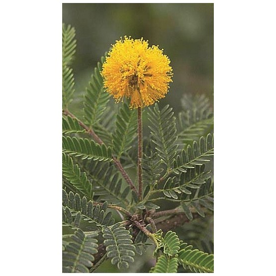 Acacia farnesiana ARBOL
