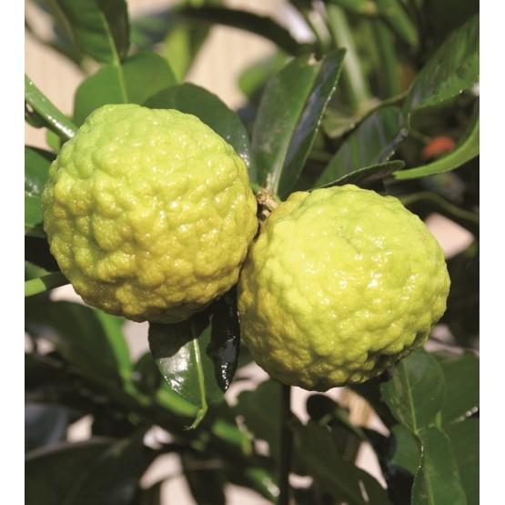 Citrus hystrix - Fruto