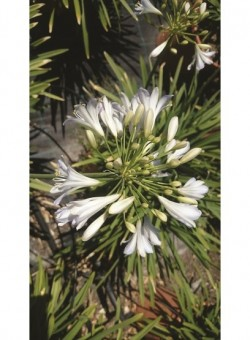 "Agapanthus ""Silver Baby"" HERBACEA"