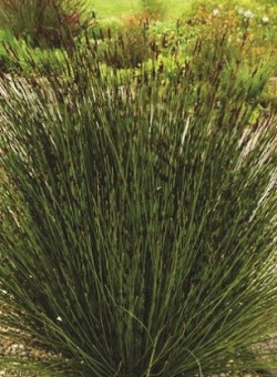 Chondropetalum tectorum GRAMINEA