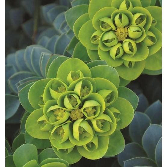 Euphorbia myrsinites SUCULENTA