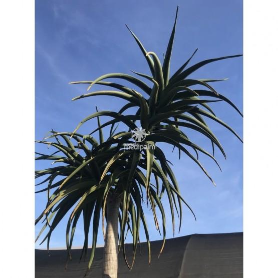Aloe bainesii SUCULENTA